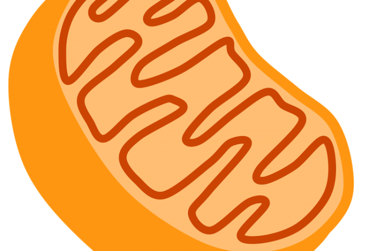 DNP diet pills affect mitochondria in human cells