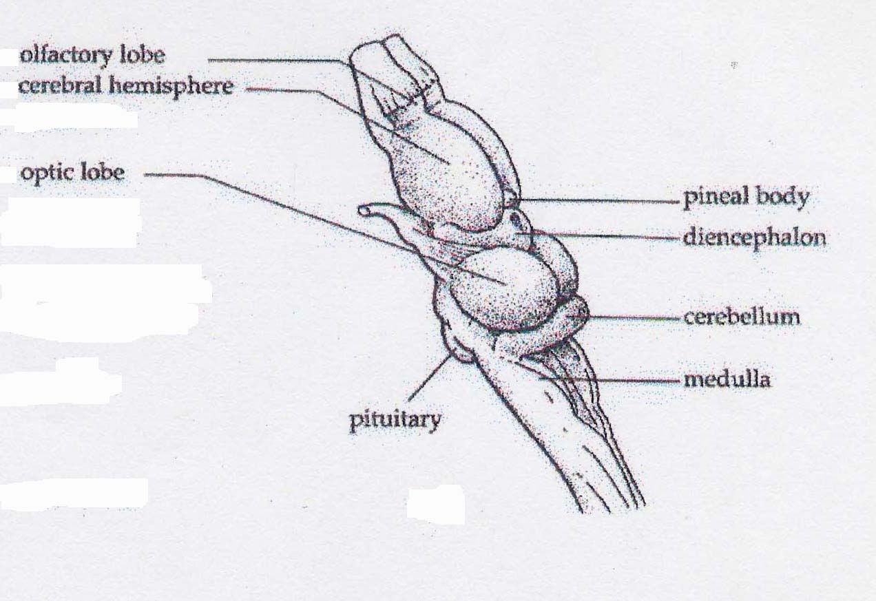 Frog Skull Labeled