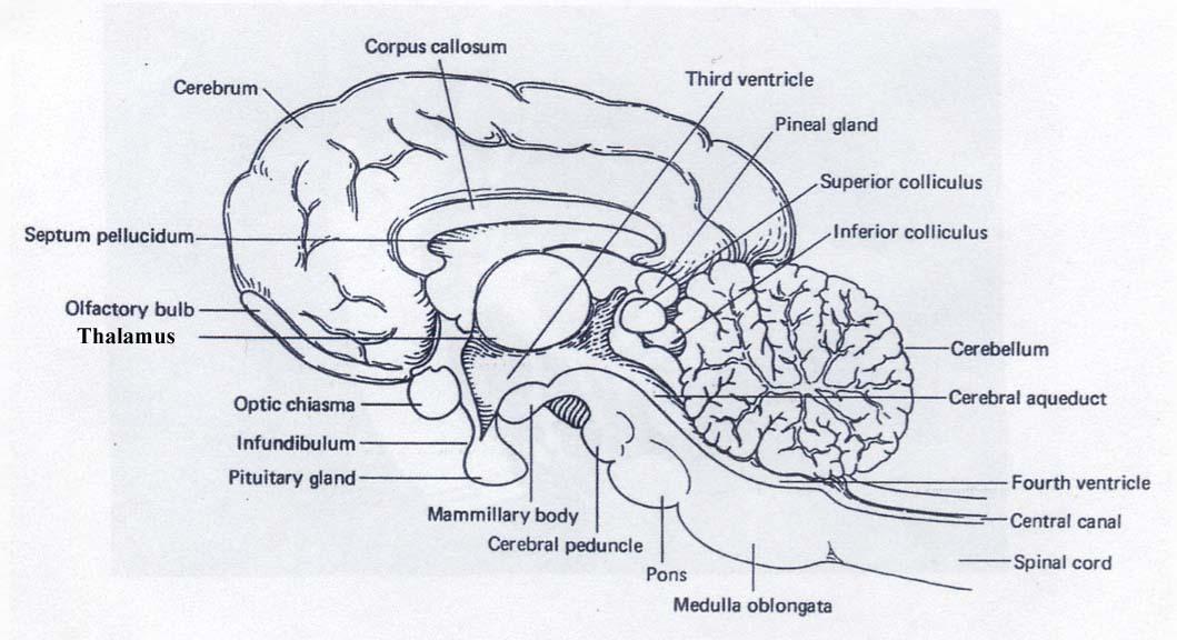 Dog Brain Anatomy Cerebral Aqueduct