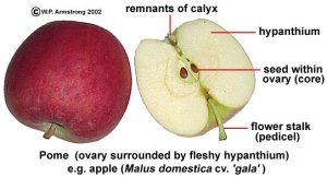 Fruit Terminology (Part 4)