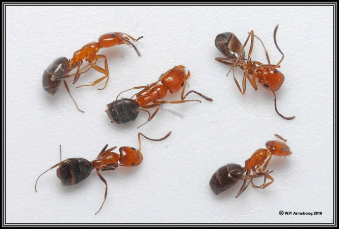 City Invasion By Tiny Ants Is Major Part Of Doctoral Study