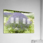 Lavender Plants 1 Bob Corson
