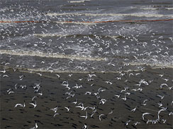 Birds scatter along the shoreline where oil booms were placed in preparation of the looming oil spill from last week's collapse and spill of the Deepwater Horizon oil rig, Saturday, May 1, 2010 in Breton National Wildlife Refuge. Wildlife in the region is vulnerable to the looming oil spill from last week's collapse and spill of the Deepwater Horizon oil rig.
