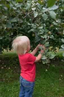 little boy with blond hair in red t-shirt and blue jeans picking apples off a tree in an apple orchard