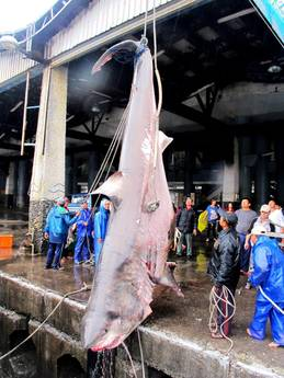 Taiwan fishermen catch huge shark