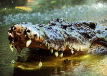 Australia: bimba divorata da coccodrillo