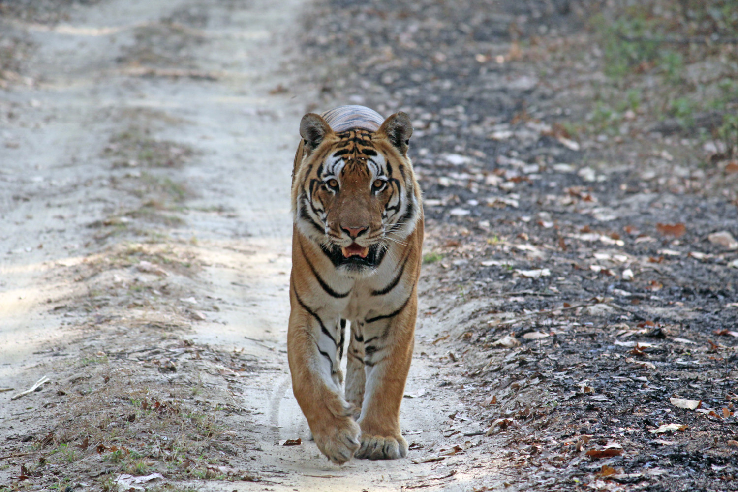Clemson Researchers Studying Human Tiger Conflicts In