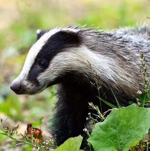 Warwickshire Badger Group