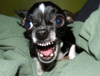 My Inner Chihuahua