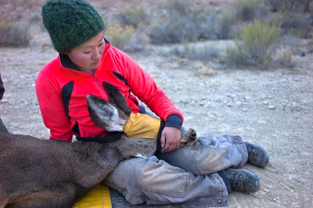 Researcher with doe mule deer