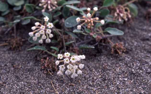 Yellowstone sand verbana is found only along the shores of Yellowstone Lake. (photo by NSP)