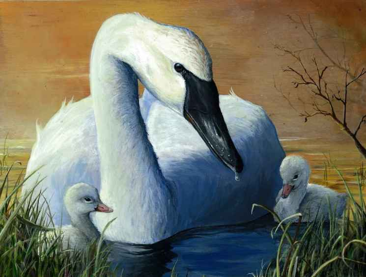 Andrew Kneeland placed second in the 2014 National Junior Duck Stamp contest with his painting of swans. (Courtesy Andrew Kneeland)