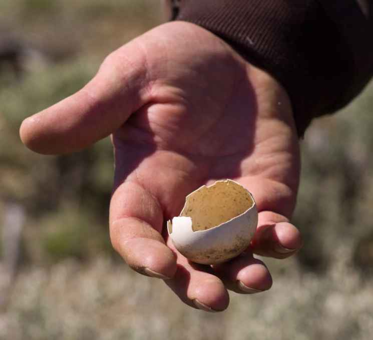 Biologists can tell by how this grouse egg cracked open that it was likely eaten by a predator, such as a raven. Had the sage grouse chick hatched successfully, it would have broken out of the large end of the shell, not the middle. (Angus M. Thuermer Jr./WyoFile)