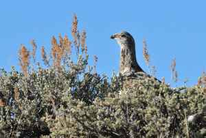 A greater sage grouse is seen near the Seedskadee National Wildlife Refuge in southwest Wyoming. During public comment on Wednesday, former Wyoming Gov. Dave Freudenthal requested that a boundary be moved in the Seedskadee core area to not include a portion of FMC Corp.'s trona mine. (photo by Tom Koerner/USFWS)