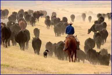"""""""Fall cattle roundup and move near Big Trails, 25 miles south of Ten Sleep in Washakie County, late September 2015. Taken from right of way of Wyo. Hwy 434."""" (Dewey Vanderhoff)"""