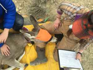 """University of Wyoming researchers collared a mule deer doe they named """"Jet"""" with a GPS unit that upload coordinates to a website every few hours. (Wyoming Migration Initiative)"""