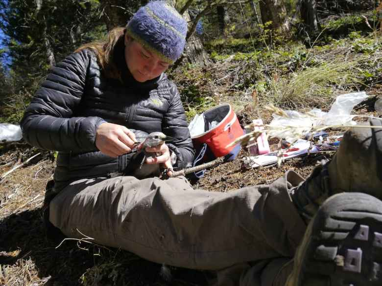 Researcher Taza Schaming attaches a tiny backpack containing a transmitter onto a Clark's Nutcracker. Clark's nutcrackers live in remote, and often hard-to-reach places at high elevations where whitebark pine grow. (courtesy Cornell Lab of Ornithology)