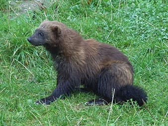 Wolverines — which numbers about 300 in the United States —reproduces only in the deep snow, which climate models show will sharply decline over the next century. (Photo courtesy of Wikipedia)