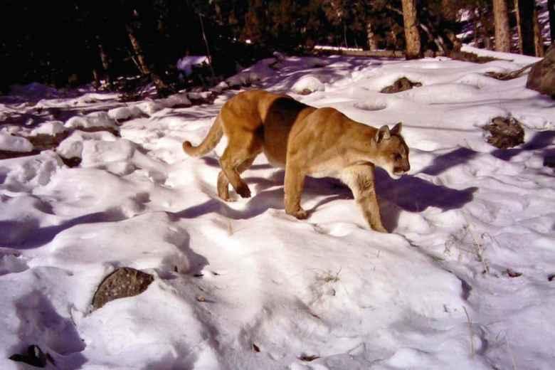 An adult cougar moves across the landscape. (Photo courtesy Daniel Stahler/NPS)