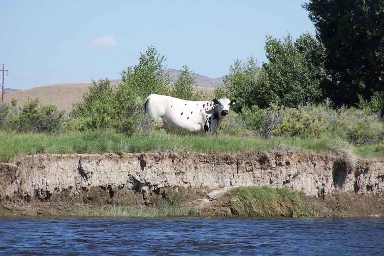 A cow grazes near a stream in Wyoming. Western Watersheds Project says public lands grazing raises e coli levels above standards set under the Clean Water Act. (Flickr Creative Commons/Steve Stevens)