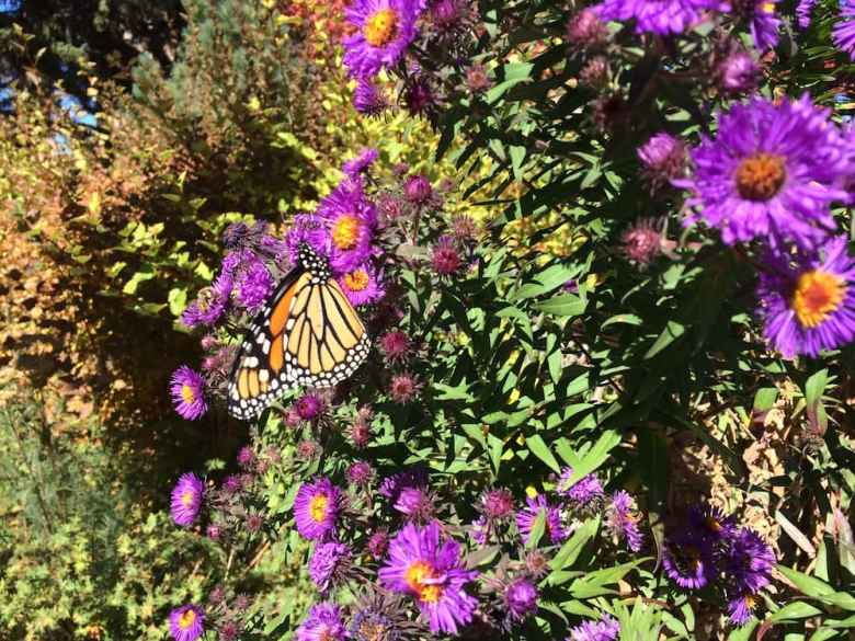 Scientists are trying to document how many monarch butterflies use Wyoming during migration. (photo by Melanie Arnett)