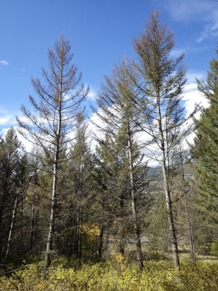 Spruce budworm are killing trees on the Shoshone National Forest. The insects feed on tree needles. (Kurt Allen)