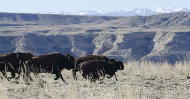 Buffalo run on the Wind River Indian Reservation. The last time buffalo lived in the area was in the late 1800s. Ten were released on the reservation Nov. 3. (Judith Kohler/National Wildlife Federation)