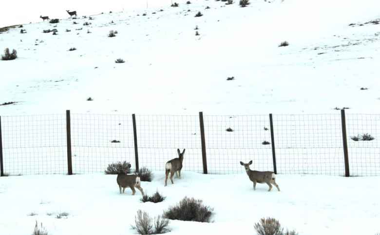 This group of mule deer got through a hole in the fence behind them, enabling them to get into the highway right of way in Nugget Canyon. Wyoming Game and Fish reports that volunteers helped mend the fence. (Lucy Diggins-Wold/Wyoming Game and Fish Department)