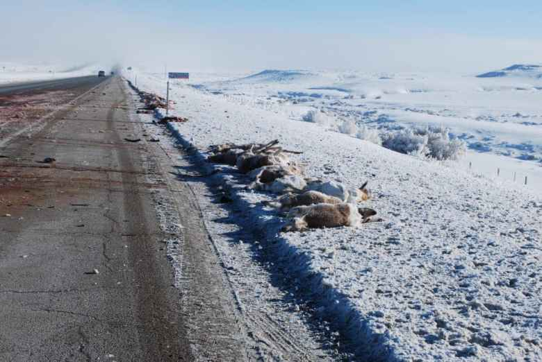 This winter has been particularly deadly for animals along Interstate 80. Many animals have been killed in vehicle collisions, as seen in this photo taken earlier this winter. (Wyoming Highway Patrol)