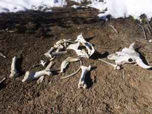 Bones from a bison lie in Yellowstone National Park's backcountry. Exploring the park on skis offers a chance to take in sights like this that would be missed on a snowmobile or in a snowcoach. (Kelsey Dayton/WyoFile)