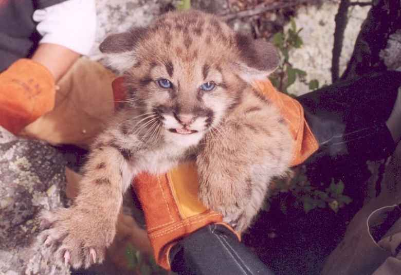 Careful handling by properly trained researchers is safe for appropriately aged cougar kittens, but that doesn't mean they're happy about it. Heavy-duty welding gloves help make exams somewhat safer for handlers. (Dan Thompson)