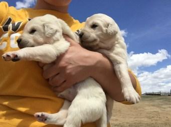Guard Dog Puppies