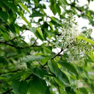 Prunus virginiana melancarpa 'Canada Red' | Photo courtesy of Bailey Nurseries, Inc.