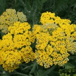 'Coronation Gold' Yarrow