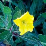 Missouri Evening Primrose | Photo courtesy of Bailey Nurseries, Inc.