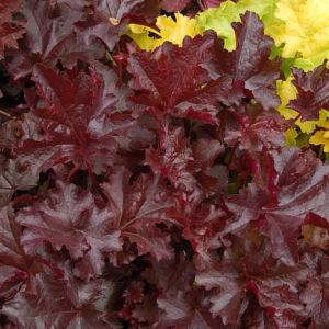 Coral Bells 'Chocolate Ruffles'