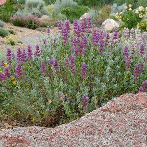 Mojave Sage
