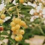 Yellow fruited chokecherry