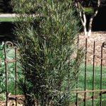 'Fine Line' Buckthorn
