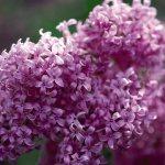 Saugeana Chinese Lilac