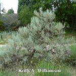 Tall Western Sagebrush