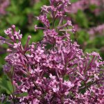 Bloomerang™® Lilac | Photo courtesy of Bailey Nurseries, Inc.