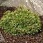 Pinus mugo 'Donna's Mini' | Photo courtesy of Iseli Nursery