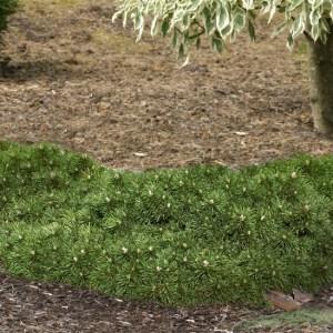 Pinus mugo 'Valley Cushion' | Photo courtesy of Iseli Nursery