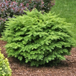'Loowit' Japanese Hemlock | Photo courtesy of Iseli Nursery