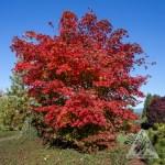 Acer x pseudosieboldianum 'North Wind', autumn;   Photo courtesy of Iseli Nursery