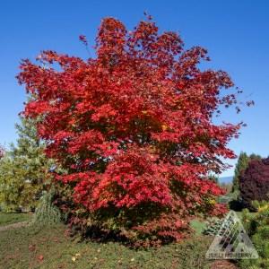 Acer x pseudosieboldianum 'North Wind', autumn; | Photo courtesy of Iseli Nursery