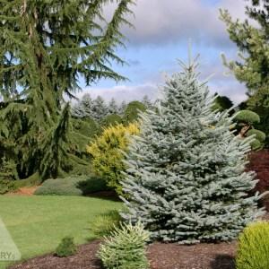 Picea pungens 'Fat Albert'   Photo courtesy of Iseli Nursery