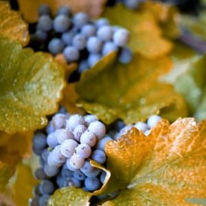 'Concord' Grapes