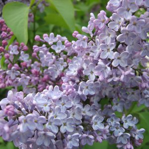 Purple lilac   photo from Flickr, author Marisa DeMeglio from NYC, USA